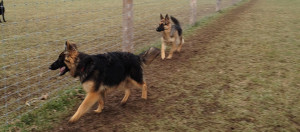 show german shepherds